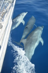 Dolphins play on the bow of Adina