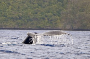 Humpback Whale in Vava'u