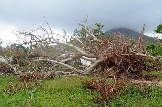 Large trees simply uprooted