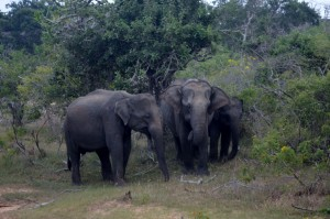 Asian Elephants - hoping to see African Elephants later this year.