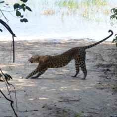 Leopard on the loose